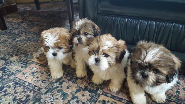 Regalo gratis de cachorros Shih Tzu machos y hembras.