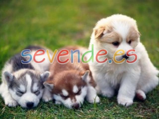 Cachorros de Alaskan Malamute de alta calidad