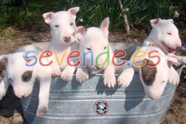 Cachorros de Bull Terrier para Rehoming
