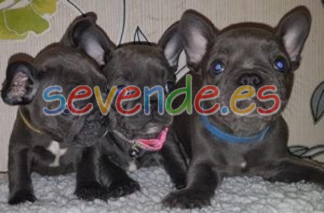 Cachorros de bulldog francés azul