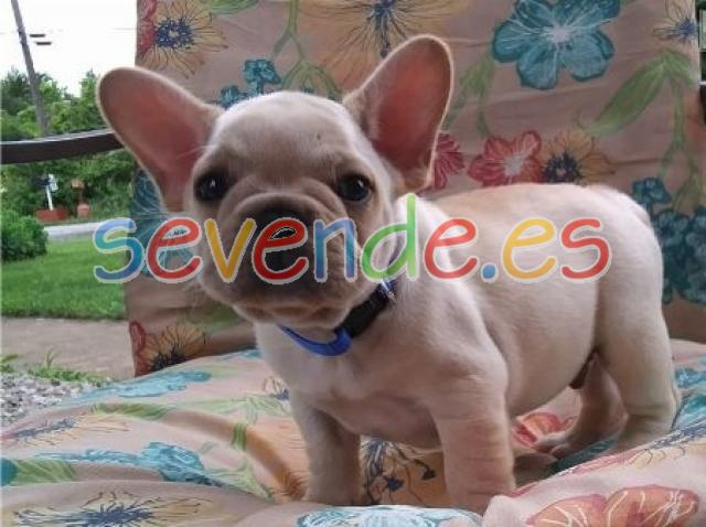 Cachorros de bulldog francés para la adopción