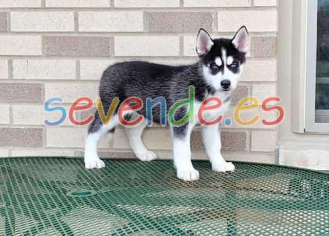 Cachorros husky siberiano intuitivos listos p