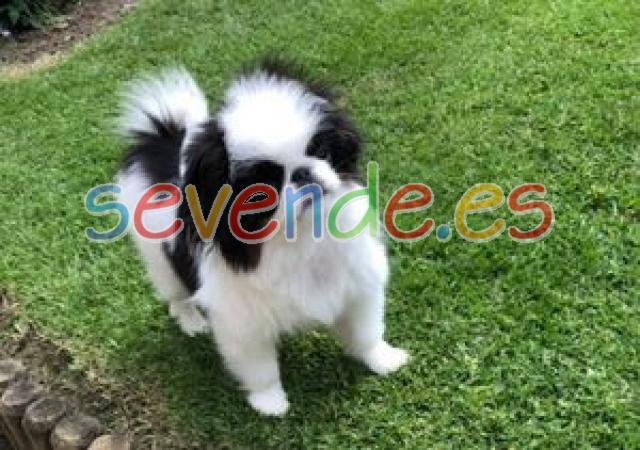 Chin cachorros japoneses para adopción