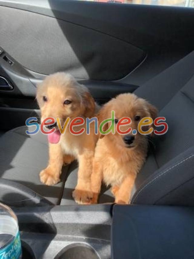 Dos cachorros hermosos y de calidad Akc Golde