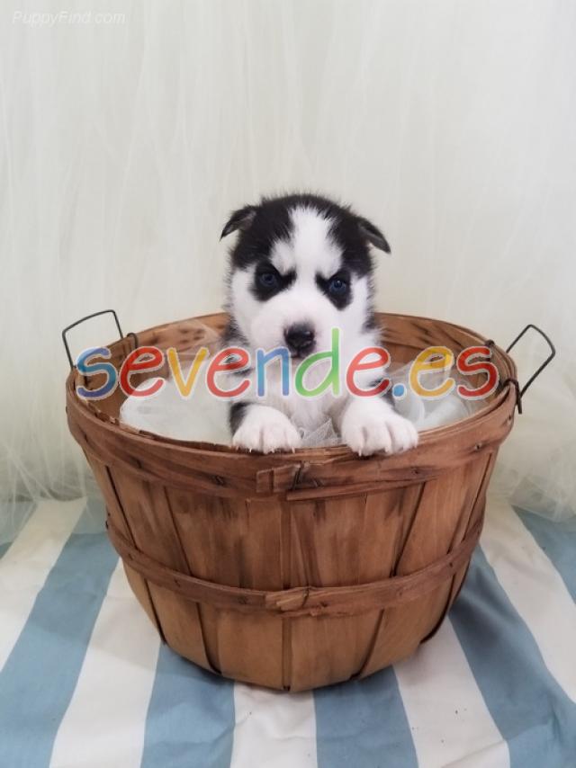 Dulces cachorros de husky siberiano para adop