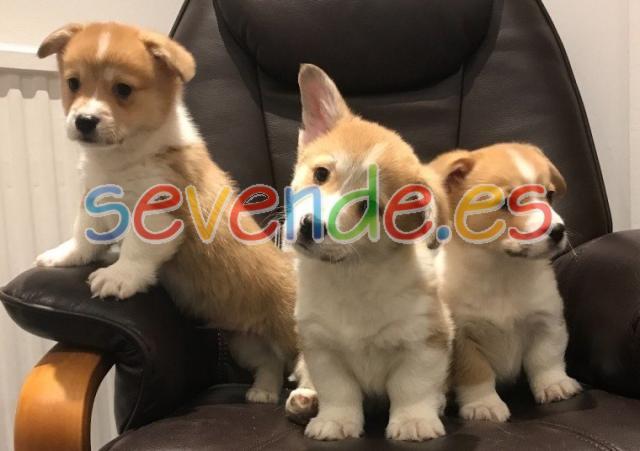 Hermosos cachorros registrados de Corgi Kc