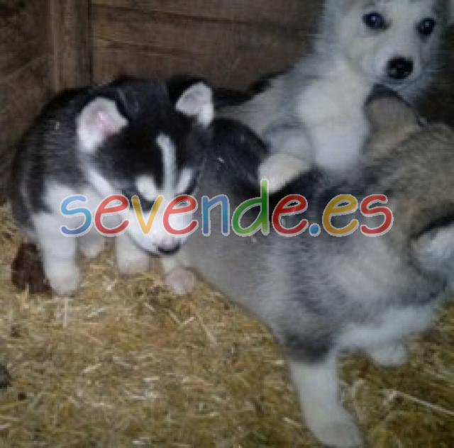 Impresionantes cachorros de husky siberiano