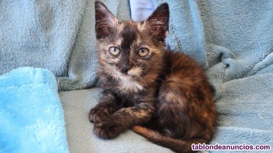 Kenia (nacimiento abril ) gatita en adopción madrid