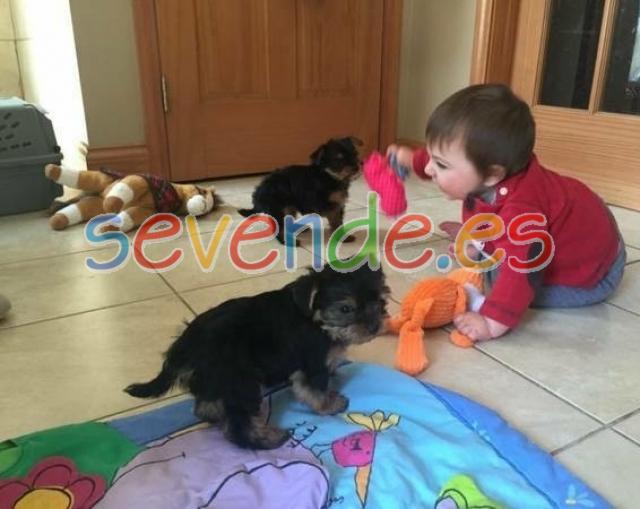 ncreíbles cachorros Yorkie para adopción