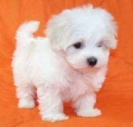 Regalo micro lindos cachorros malteses para adopción