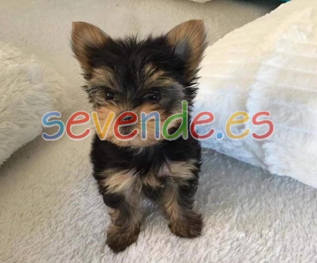 Cachorros de yorkie registrados para la venta