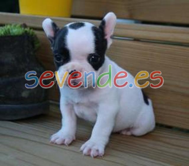 cachorros de bulldog francés para su adopción