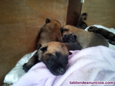 Cachorros de pastor belga malinois