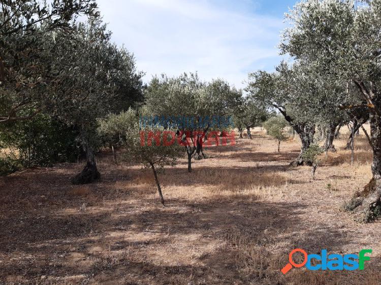 Parcela de 900 m2 con olivos, encinas y con acceso en buen