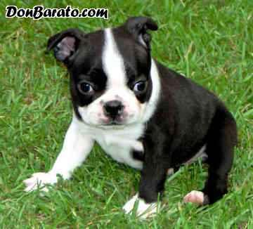 Hermosos cachorritos de boston terrier