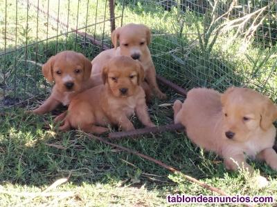 Vendo cachorros de tekell con hispanis breton