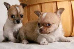 Regalo Cachorros Cachorros Jack Russell