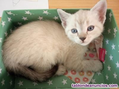 Gatita siamesa nacida el 15 de junio.