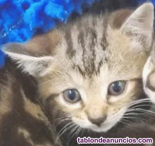 Gatitos de 1 mes en adopción