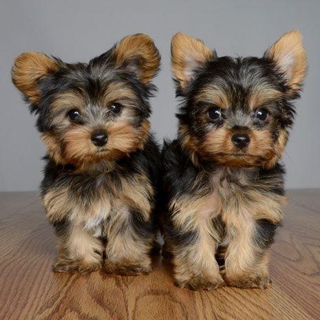 Cachorros de yorkshire