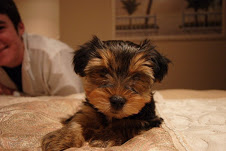 Cachorros de yorkshire para adopcion