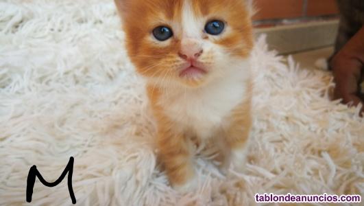 Gatitos angorra muy bonitos y peluditos