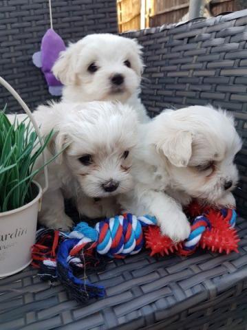 Regalo Cachorros Bichon Maltés para Adopcion