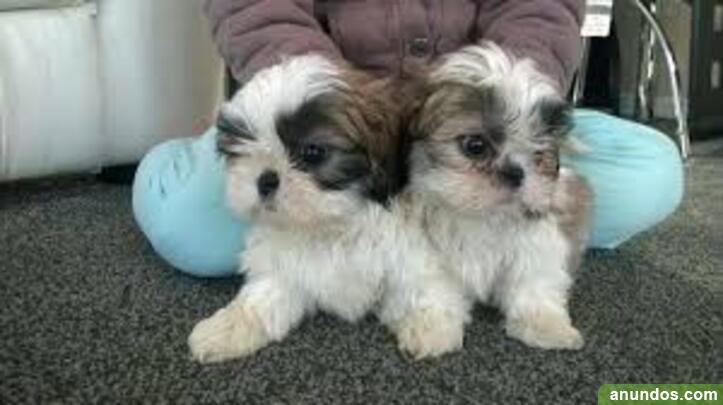 Shih tzu cachorros para su adopción - Berzosa del Lozoya