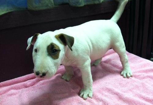 REGALO Preciosos cachorros de Bull Terrier PARA ADOPCION d