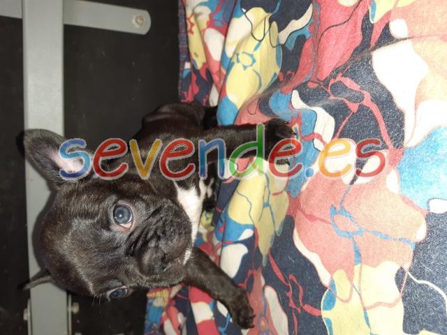 Se vende cachorros de bulldog frances
