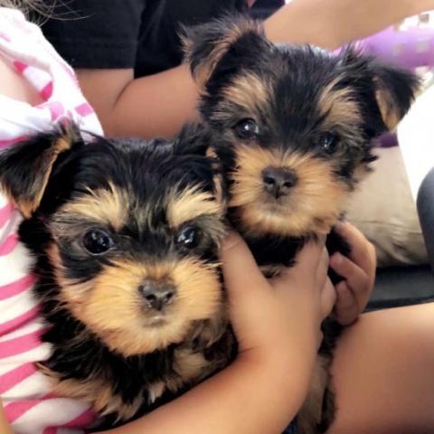adorables cachorros Yorkie para volver a florecer