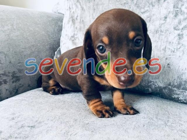 Cute Lovely Dachshund puppies available