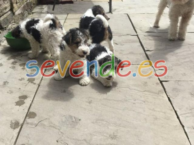 Top Quality Wire Fox Terrier Puppies