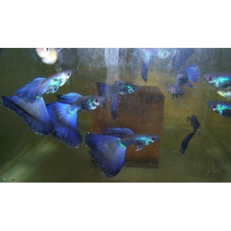 Lote de 5 Guppys Blue Moscow Seleccion (2 cm - Alevines)