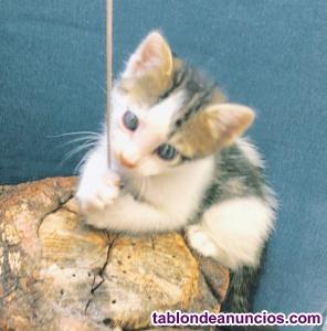 Gatito macho de 1 mes y medio en adopción