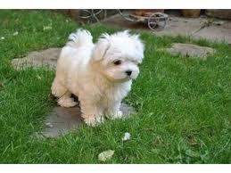 Los cachorros malteses saludables necesitan una nueva famili
