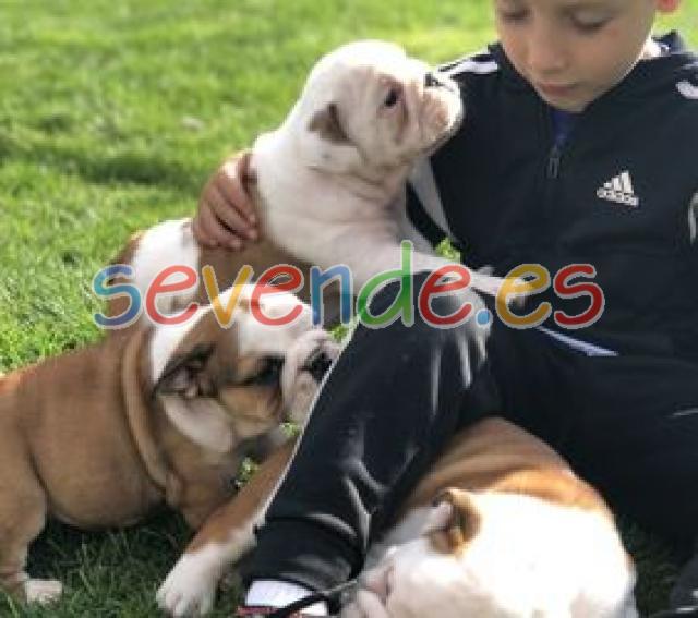 Mostrar Potential Kc Reg Bulldog Inglés cacho