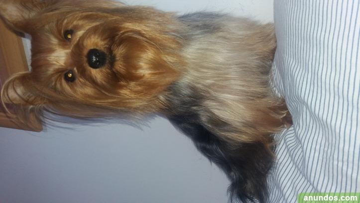 Preciosos cachorros de yorkshire terrier - El Rubio
