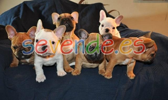 Adorables cachorros pendientes de Labrador Re