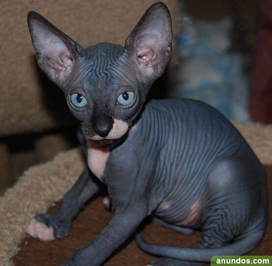 Disponible camada de gato sphynx nacida - Barrado
