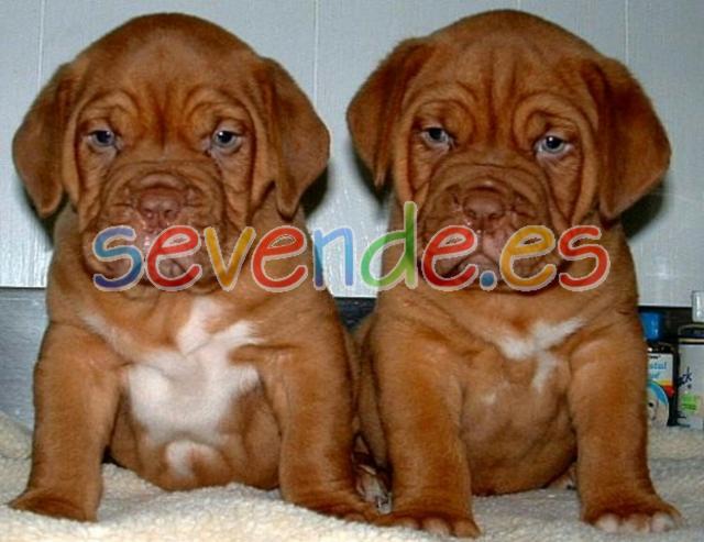EXCELENTES DOGO DE BURDEOS