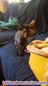 Gatita carey cachorra. En adopcion. Cary