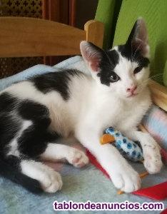 Gatito blanco y negro. En adopcion.