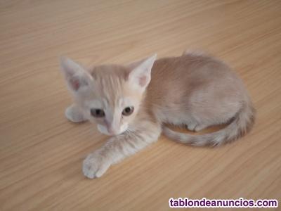 Gatito naranja con un mes y medio