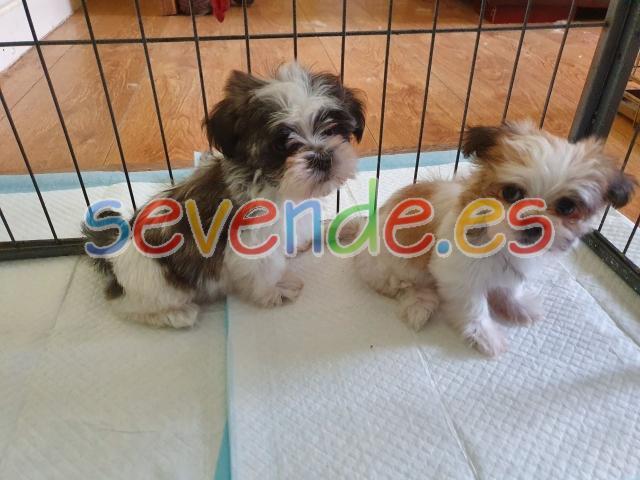 Pedigree Shih Tzu Puppies Disponible