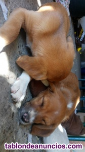 Se regala cachorro beagle