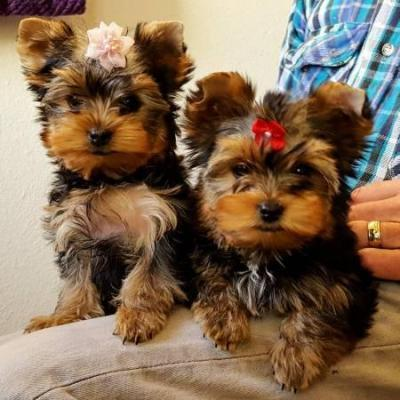 Cariñosa taza de té Yorkie puppies