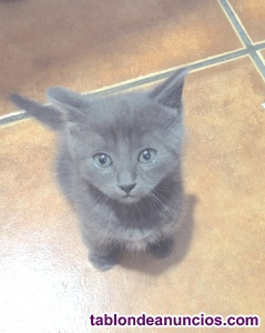 Gatito azul de 1 mes y medio en adopción