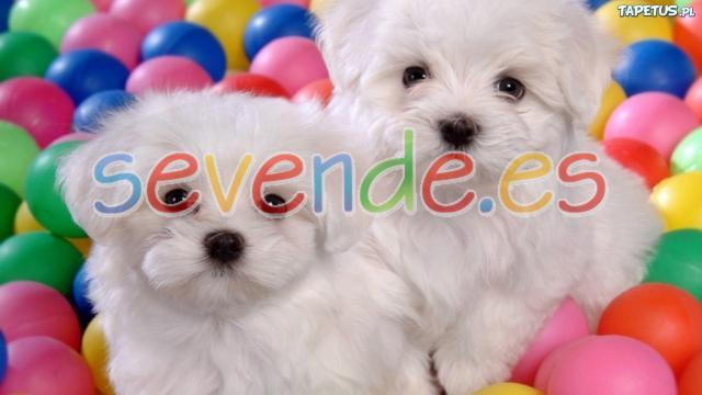 lindo cachorros Bichón Maltés
