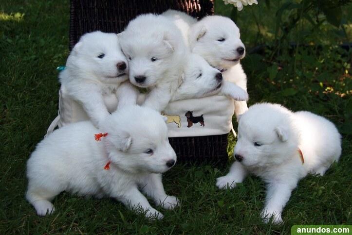 Hermosos cachorros de samoyedo con todas las vacunas
